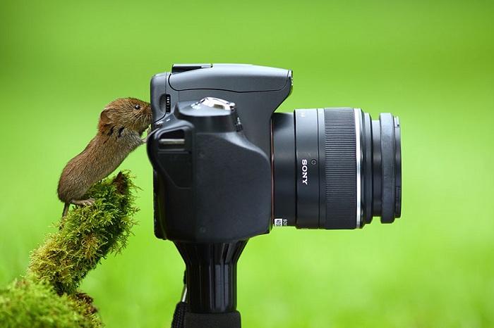 Фотокамера и рыжая полевка-фото