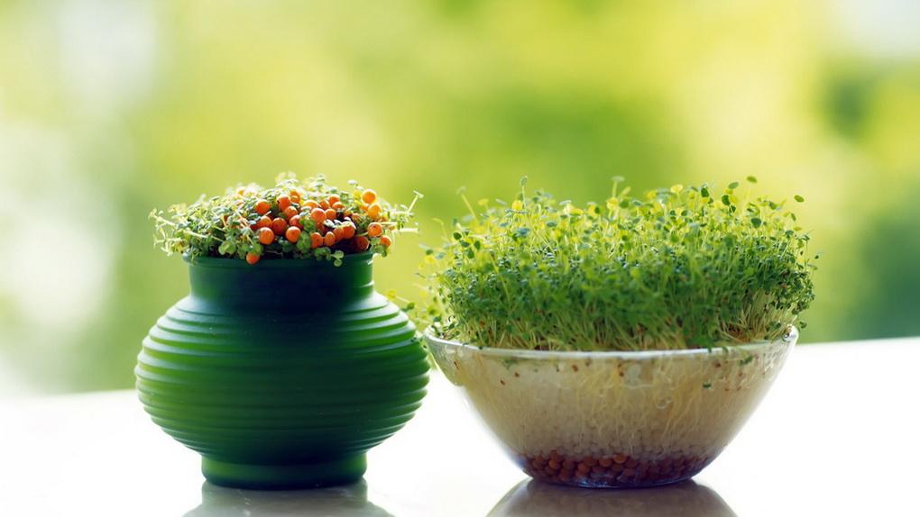 kress-salat-na-podokonnike