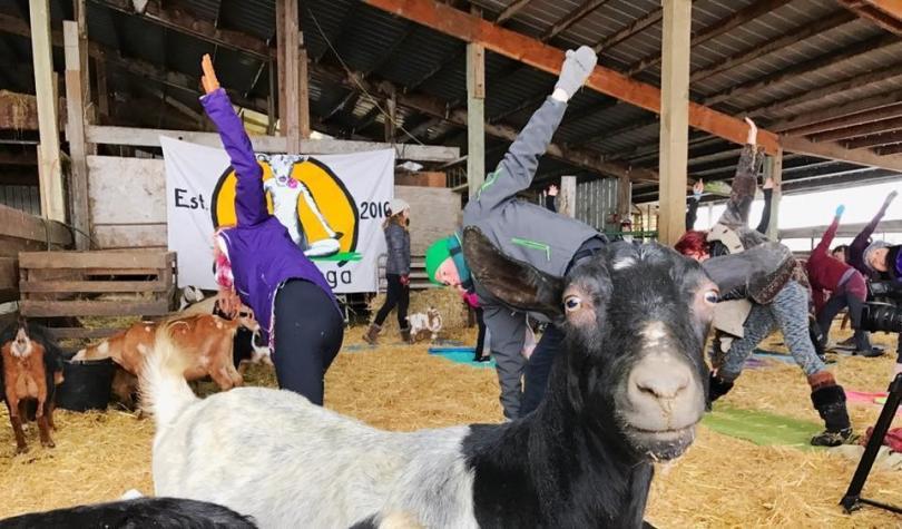 Йога с козами-фото 5