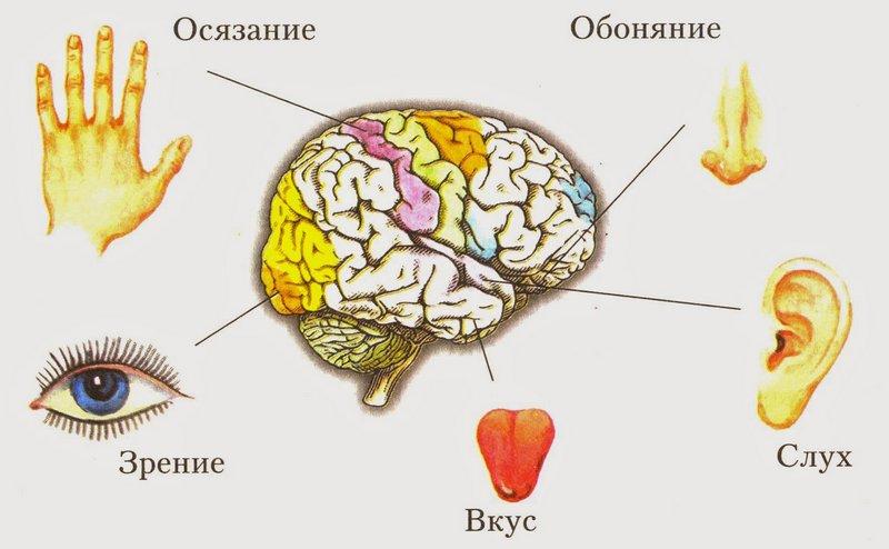Органы чувств-нейробика