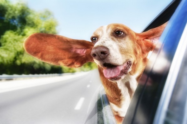 Собака-путешественница-открытое в авто окно