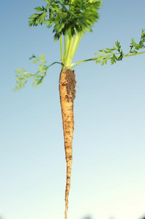 Питание в мае-морковь