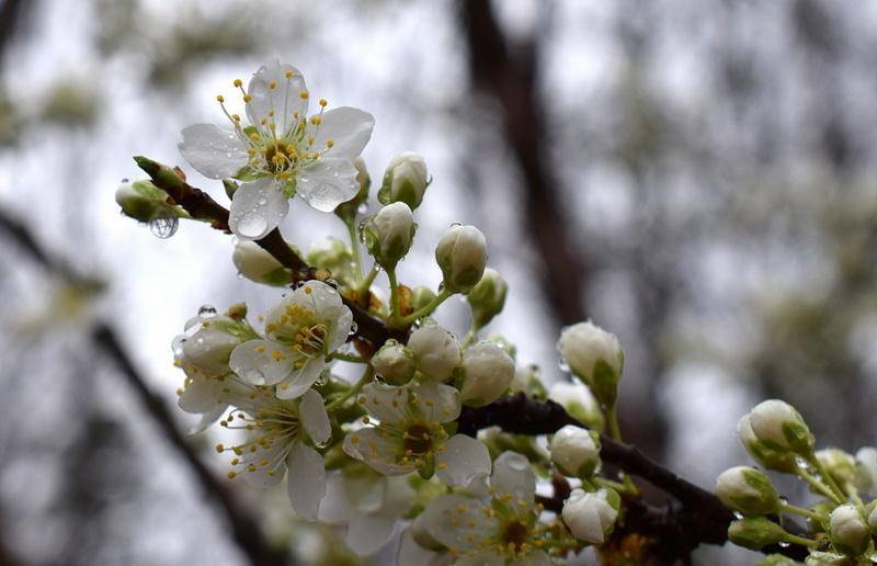 Цветущая ветка под дождем-фото