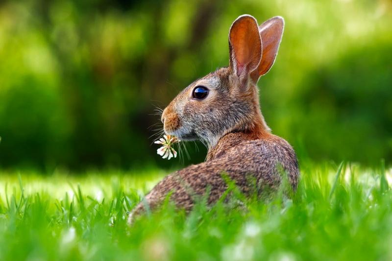 rabbit-grass nature