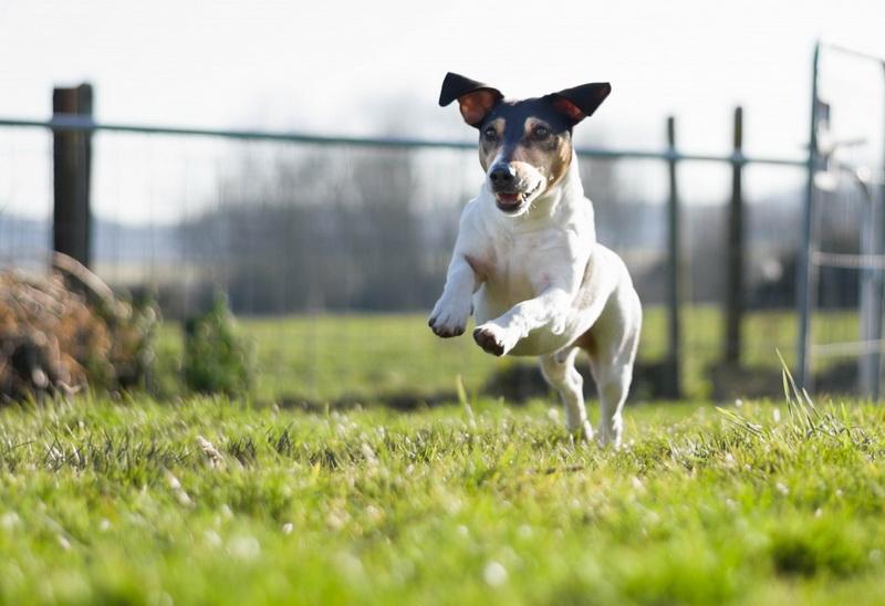 Летние дни-собака на лужайке