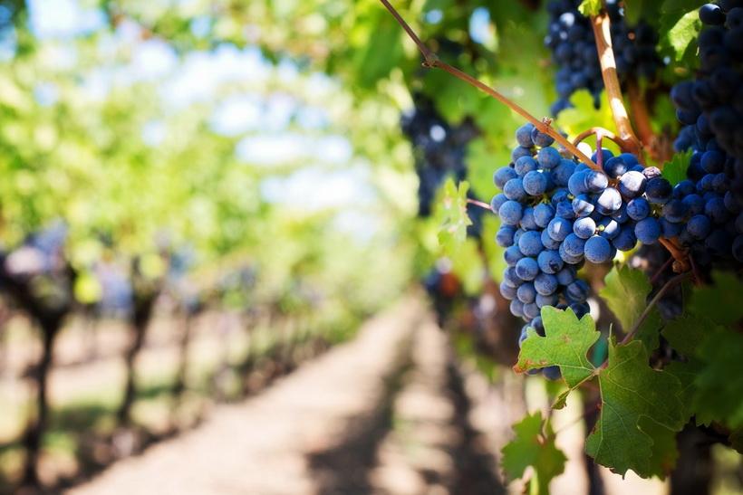 Урожай винограда-вкусная осень
