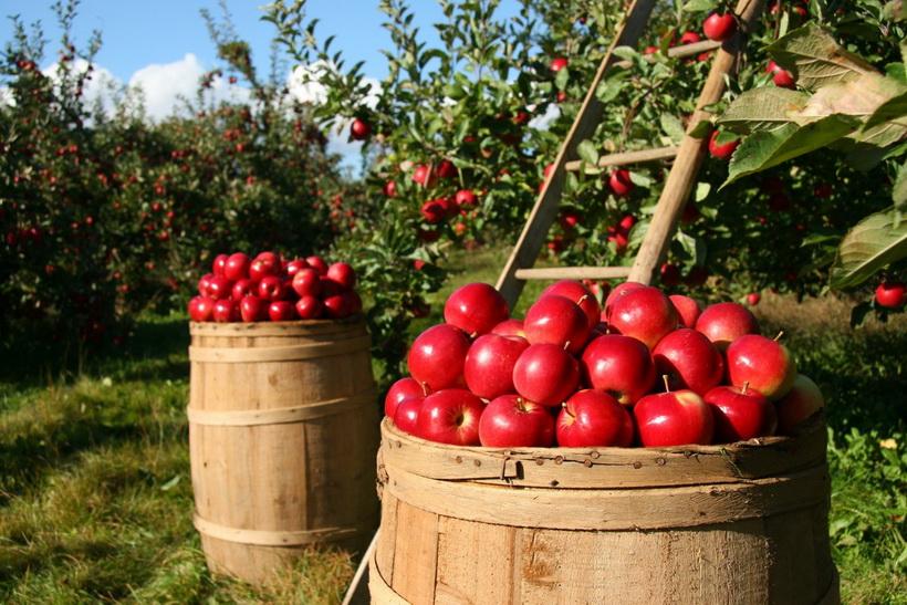 apple-урожай