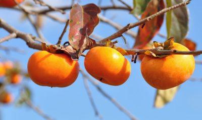 3 плоди хурми на одній гілці