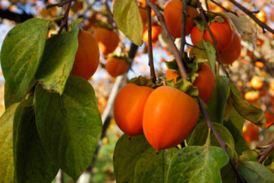 Висячі ягоди на гілках