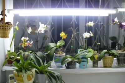 Догляд за Phalaenopsis у холодну пору року