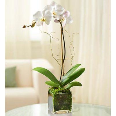 После покупки не требуется уход и полив орхидеи