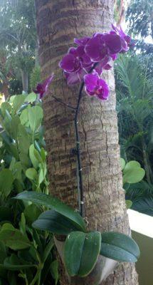 Уход за орхідеєю в період цвітіння. Рослина в дикій природі.