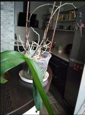 Уход за орхідеєю в період цвітіння