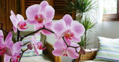 При правильном уходе орхидея будет цвести регулярно