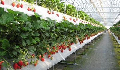 Як правильно розводити садити і розводити полуницю