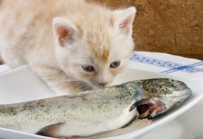 Харчування кошенят
