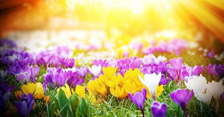 Крокусы-цветение
