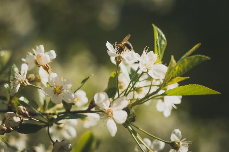 Цветущая вишня-прекрасный апрель
