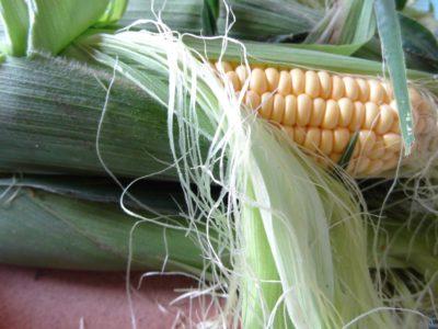 Частково відкритий свіжий початок молодої кукурудзи