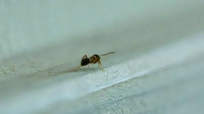 Как избавиться от муравьев в доме: Обнаружен разведчик