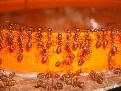 Как бороться с муравьями: Яд-приманка