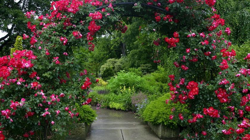 Мой сад-розы