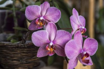 Коли пересаджувати орхідею
