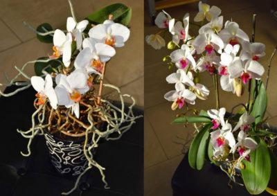 Коли можна пересаджувати орхідею