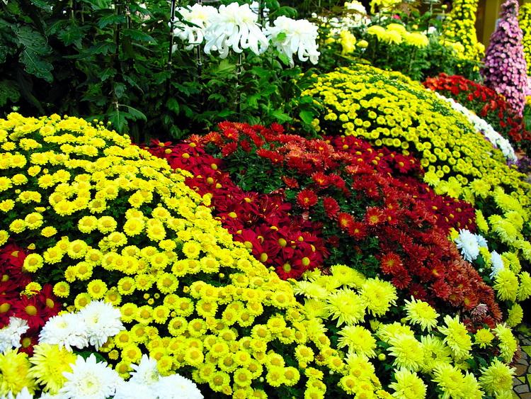 Хризантемы-цветы