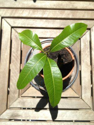 як виростити манго