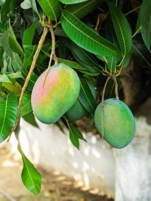 посадка косточки манго