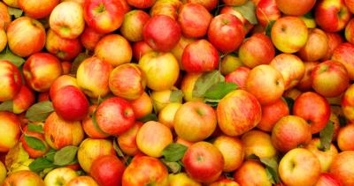 Врожай яблук