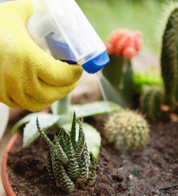 як пересаджувати кактуси