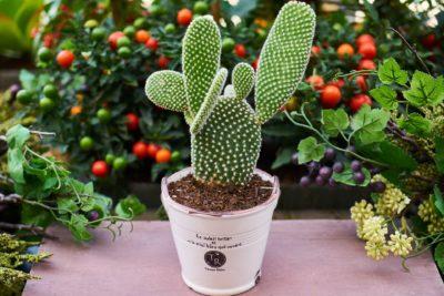 пересадка кактусів в домашніх умовах