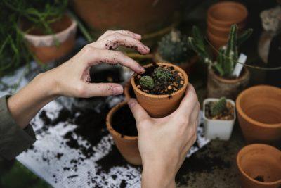 як садити кактус