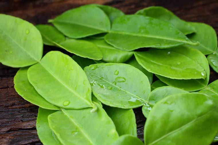 Свежие листья каффир-лайма