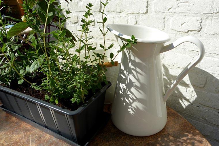 Выращивание орегано дома