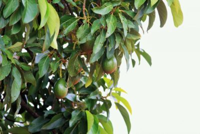 як виростити авокадо