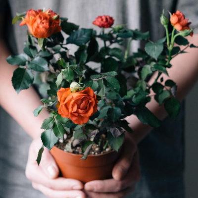 догляд за трояндою