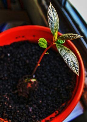 як росте авокадо