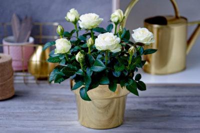 як доглядати за кімнатною трояндою