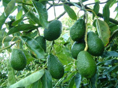 авокадо в домашніх умовах