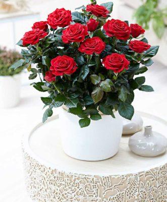 догляд за трояндами влітку