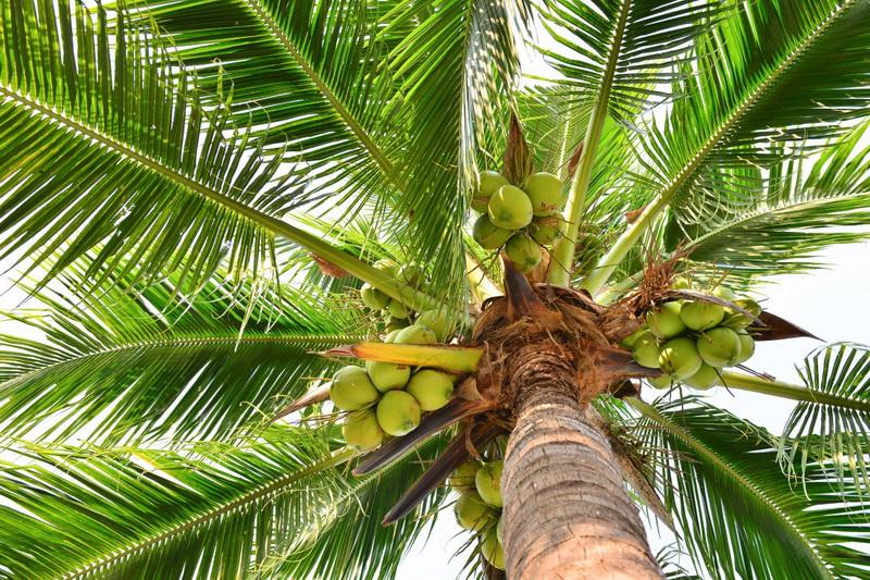 Кокосовая пальма-как растут кокосы