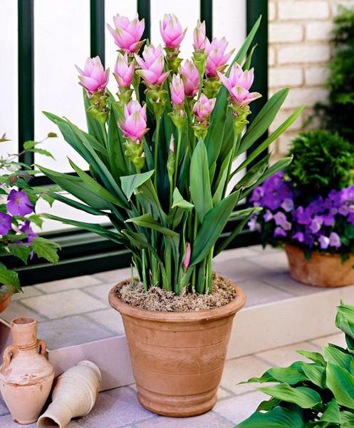 Куркума-домашнее растение