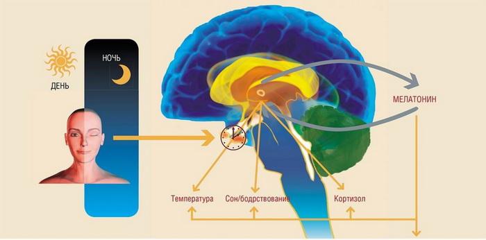 Здоровый сон-как работает мозг