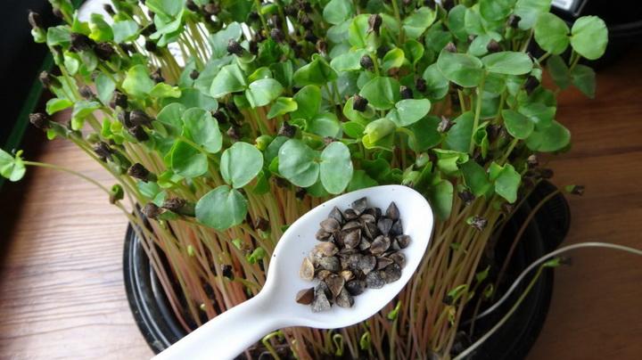 Микрогрин-семена