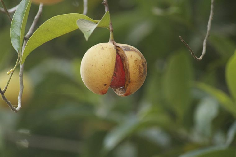 Плод мускатного ореха на дереве