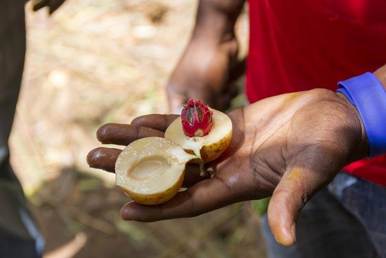 Свежий плод мускатного ореха