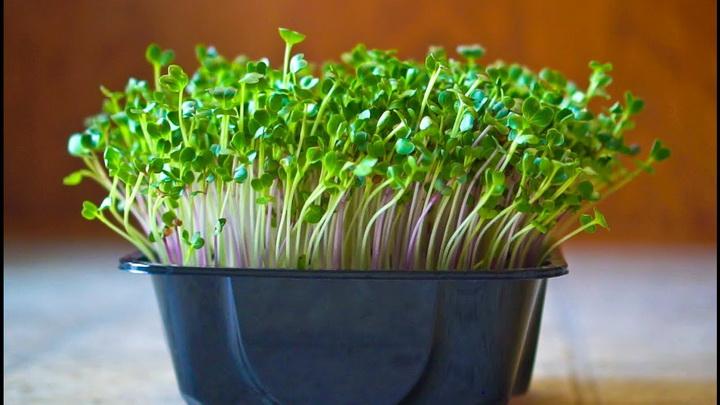 microgreen-как вырастить